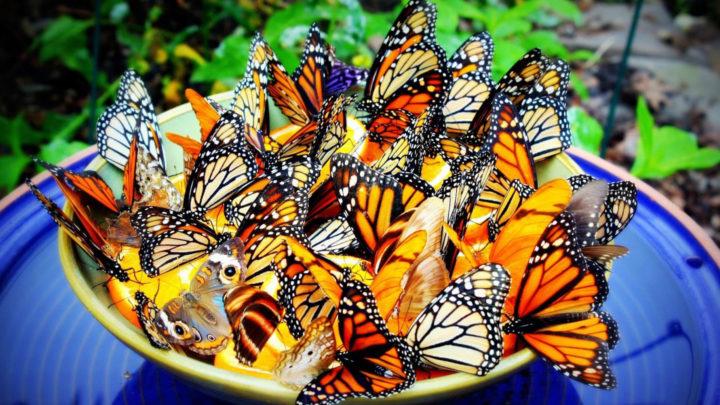 бабочки едят апельсинку
