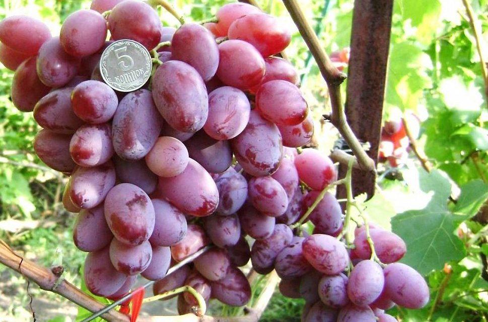 посадка-винограда